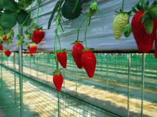 strawberry yamanashi