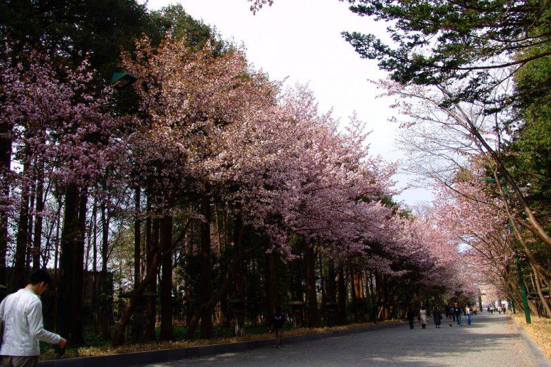 hokkaido shrine sakura