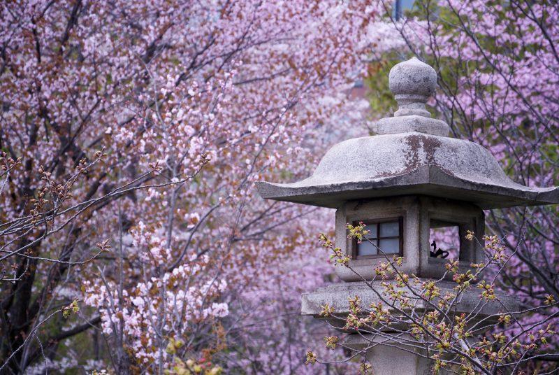 hokkaido cherry blossoms