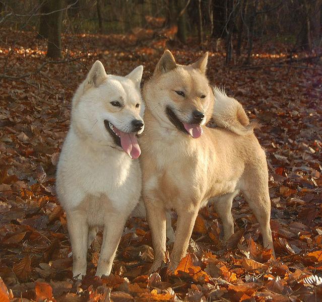Health Issues of Hokkaido Dog