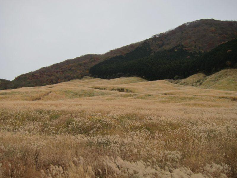 Hakone Pampas Grass Field