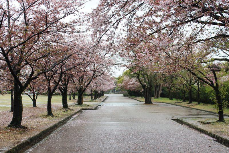 Himeji Cherry Blossoms