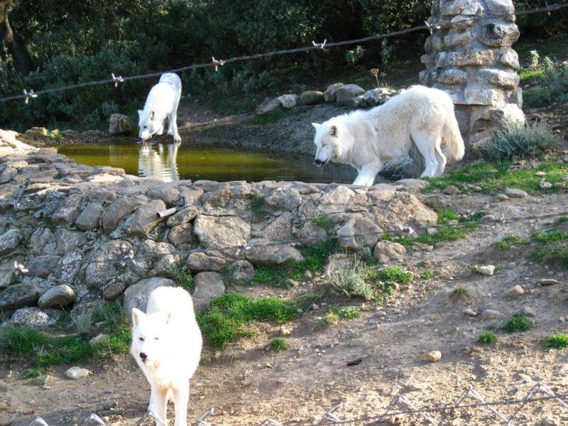 Polar wolves, Lobo Park, Antequera