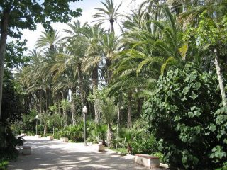 Elche palm tree