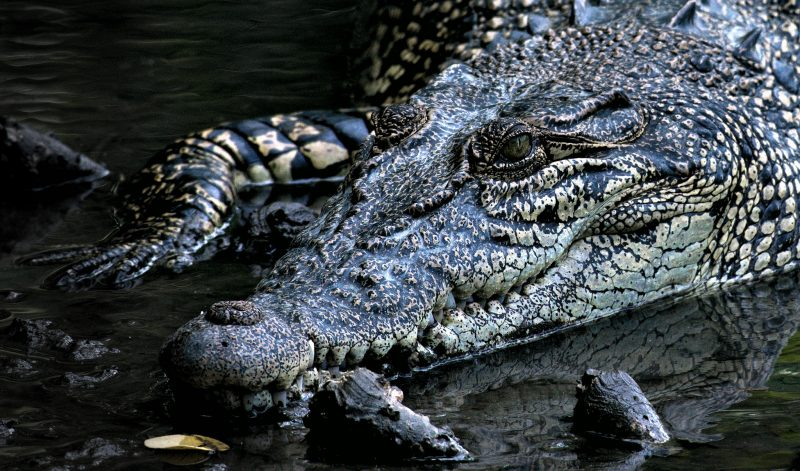 Marbella Crocodile