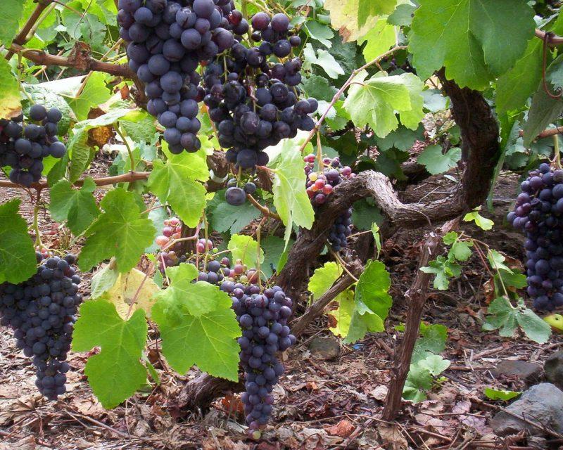 Wine Tenerife