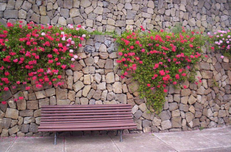 Spain Geranium
