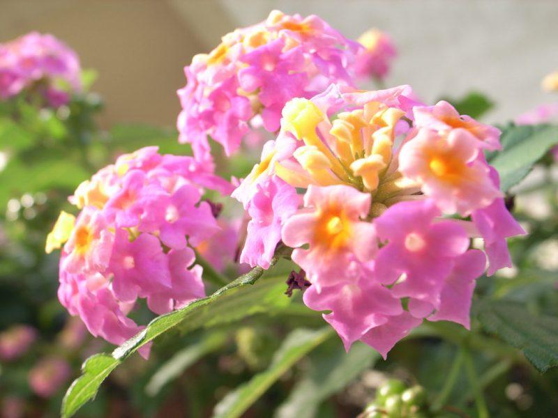 Spain Lantana Flower