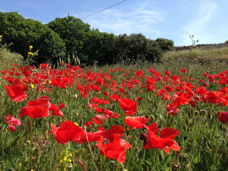 Spain Poppy Flowers