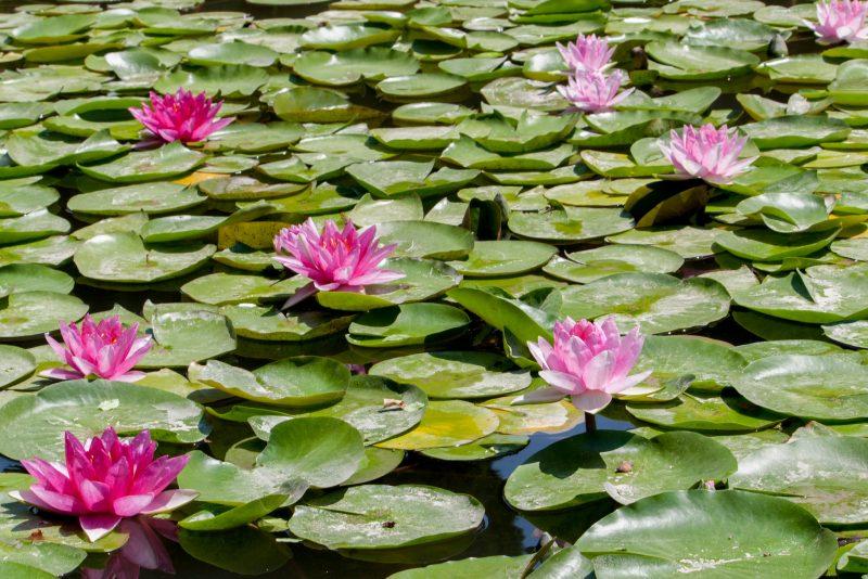 Spain Water Lilies