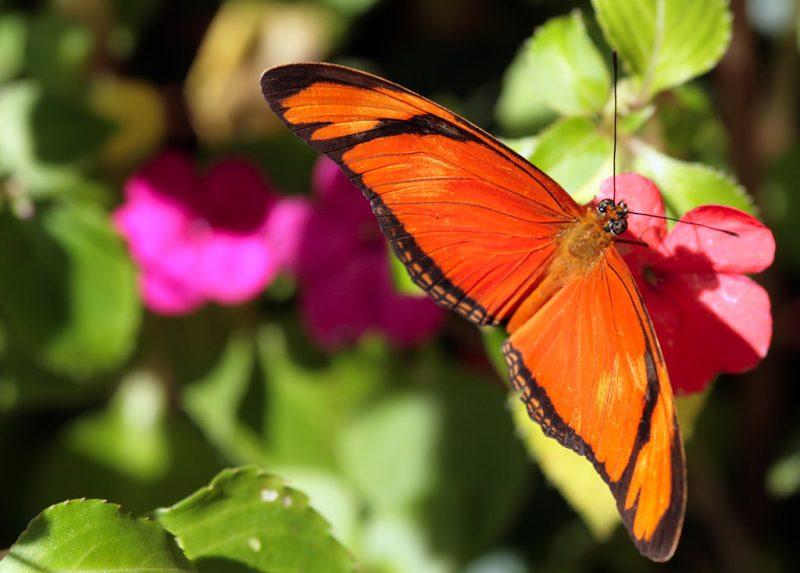 Brazil Buttefly