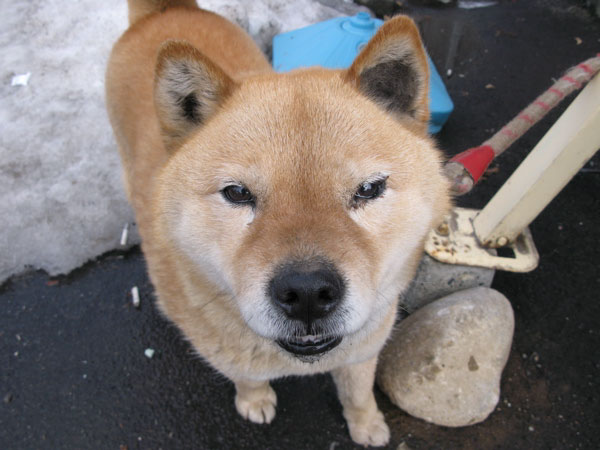 7 Things to Know About Hokkaido Inu, Dog,Ken – Trip-N-Travel
